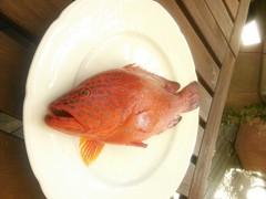 高級魚、ユカタハタです。
